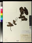 view Aristolochia odoratissima L. digital asset number 1