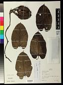 view Aristolochia sprucei Mast. digital asset number 1