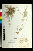 view Stapfochloa canterae subsp. grandiflora (Roseng. & Izag.) P.M. Peterson digital asset number 1