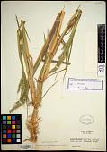 view Echinochloa oplismenoides (E. Fourn.) Hitchc. digital asset number 1