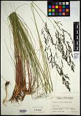 view Eragrostis curvula (Schrad.) Nees digital asset number 1