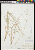 view Eragrostis obtusiflora (E. Fourn.) Scribn. digital asset number 1