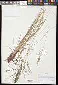 view Eragrostis palmeri S. Watson digital asset number 1
