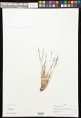 view Festuca brachyphylla Schult. & Schult. f. digital asset number 1