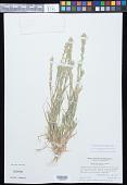view Orcuttia pilosa Hoover digital asset number 1