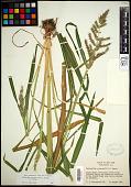view Echinochloa muricata var. muricata (P. Beauv.) Fernald digital asset number 1