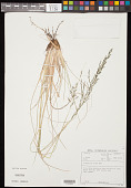 view Eragrostis plana Nees digital asset number 1