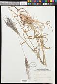 view Digitaria gazensis Rendle digital asset number 1
