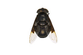 view Mexican Cactus Fly, Hoverfly digital asset number 1