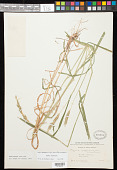 view Elymus curvatus Piper digital asset number 1