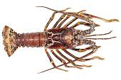 view Caribbean Spiny Lobster digital asset number 1