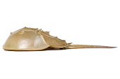 view Horseshoe Crab digital asset number 1
