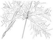 view Arthrostylidium sarmentosum Pilg. in Urb. digital asset number 1