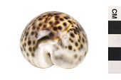 view Tiger Cowrie, Tiger Cowrie shell digital asset number 1