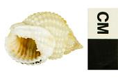 view Jeweled Dog Whelk, Jeweled Dog Whelk / Nassa, nassa digital asset number 1