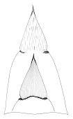 view Bambusa mutabilis McClure digital asset number 1
