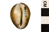 view Serpent's Head Cowrie, Serpent's-head Cowrie, Serpent's Head Cowrie digital asset number 1