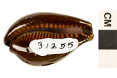 view Dark Onyx Cowrie, Dark Onyx Cowrie digital asset number 1