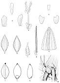 view Sucrea monophylla Soderstr. digital asset number 1