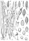 view Parodiolyra ramosissima (Trin.) Soderstr. & Zuloaga digital asset number 1