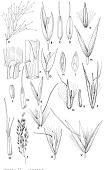 view Agrostis alba L. digital asset number 1