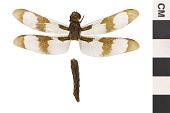 view Common Whitetail, Common Skimmer, Common Skimmer digital asset number 1