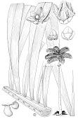 view Roystonea oleracea digital asset number 1