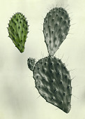 view Opuntia chaetocarpa Griffiths digital asset number 1