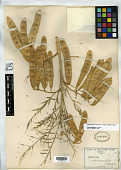 view Acacia millefolia S. Watson digital asset number 1
