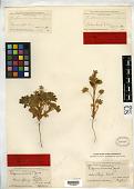 view Lupinus micensis M.E. Jones digital asset number 1