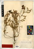view Astragalus fallax S. Watson, nom. illeg. digital asset number 1
