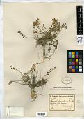 view Astragalus humillimus Freyn & Sint., nom. illeg. digital asset number 1