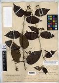 view Stigmaphyllon pseudopuberum Nied. digital asset number 1