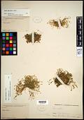 view Sagina saginoides (L.) H. Karst. digital asset number 1