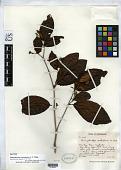 view Dimorphocalyx australiensis C.T. White digital asset number 1