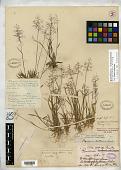 view Panicum nitidum var. minor Vasey digital asset number 1