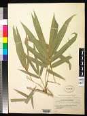 view Bambusa vulgaris Schrad. ex J.C. Wendl. digital asset number 1