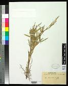 view Arundinaria acuminata Munro digital asset number 1