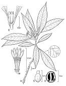 view Psychotria oliveri Lorence & W.L. Wagner digital asset number 1