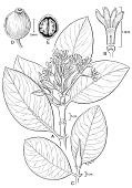 view Psychotria temetiuensis Lorence & W.L. Wagner digital asset number 1