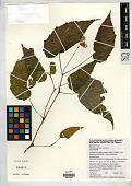 view Begonia buimontana digital asset number 1