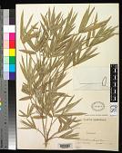 view Bambusa multiplex (Lour.) Raeusch. ex Schult. & Schult. f. digital asset number 1