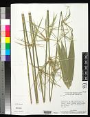 view Actinocladum verticillatum (Nees) McClure ex Soderstr. digital asset number 1
