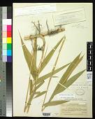 view Arundinaria tecta (Walter) Muhl. digital asset number 1