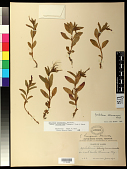 view Epilobium hornemannii subsp. behringianum (Hausskn.) Hoch & P.H. Raven digital asset number 1