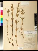 view Epilobium ciliatum subsp. glandulosum (Lehm.) Hoch & P.H. Raven digital asset number 1
