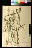 view Calamagrostis canadensis (Michx.) P. Beauv. digital asset number 1