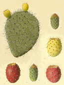 view Opuntia pachona Griffiths digital asset number 1