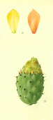 view Opuntia effulgia Griffiths digital asset number 1