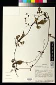 view Aristolochia acuminata Lam. digital asset number 1